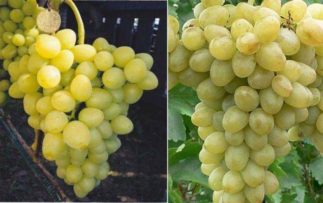 """Подробное описание и фото винограда """"надежда аксайская"""""""