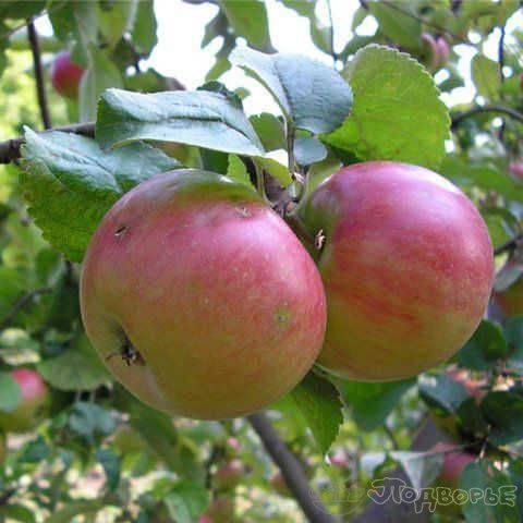 Хорошую приживаемость и высокий иммунитет демонстрирует яблоня сорта брянский