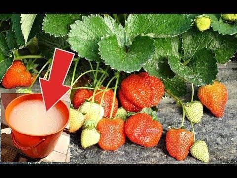 Подкормка клубники: весной и осенью. чем подкормить клубнику: мочевина, йод, дрожжи или нашатырный спирт
