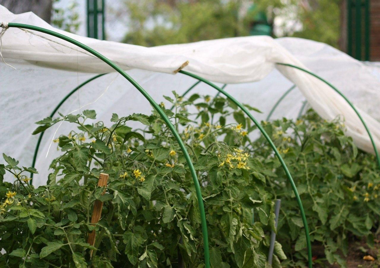 Выращивание томатов в парнике: посадка и уход