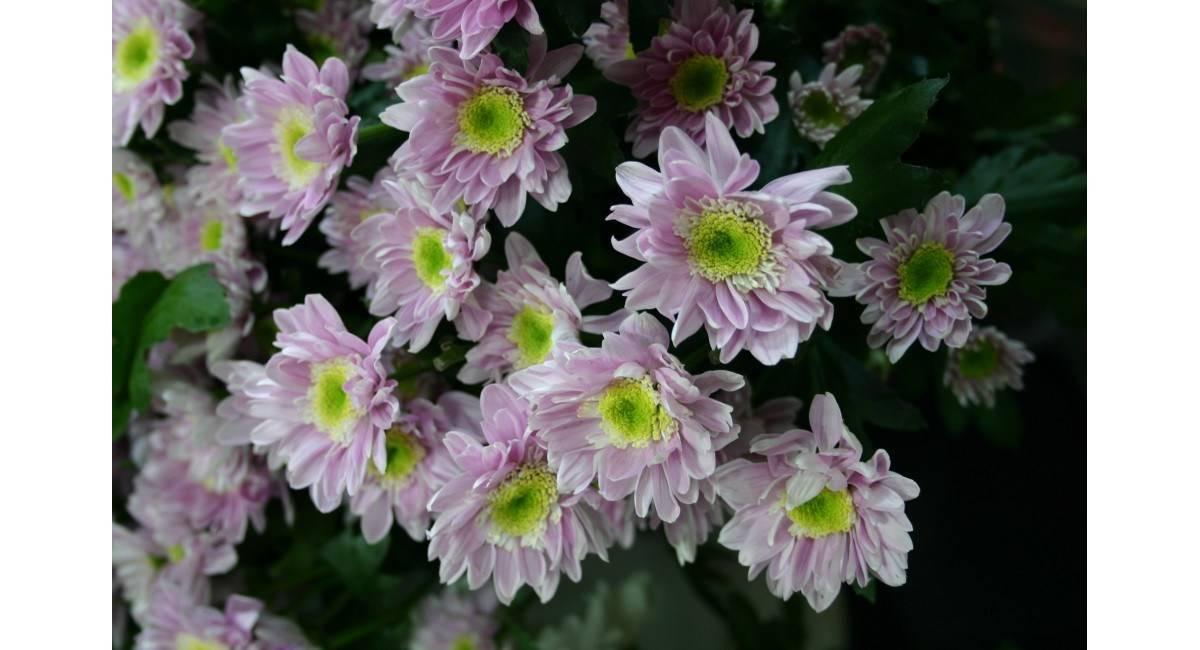 Хризантемы в саду: причины проблем с цветением