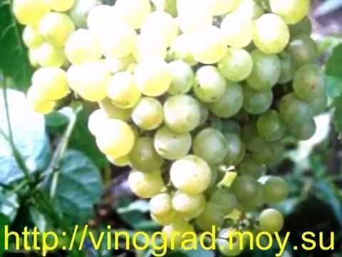 Виноград алешенькин: характеристика и описание, посадка и уход