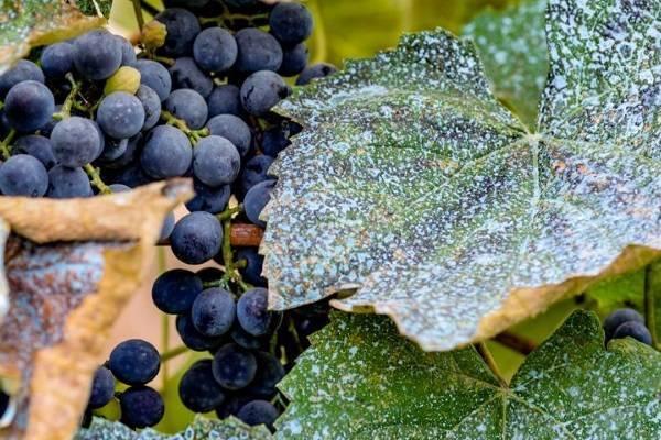 Виноград потомок ризамата: краткое описание с фото, характеристики сорта, рекомендации по уходу и разведению