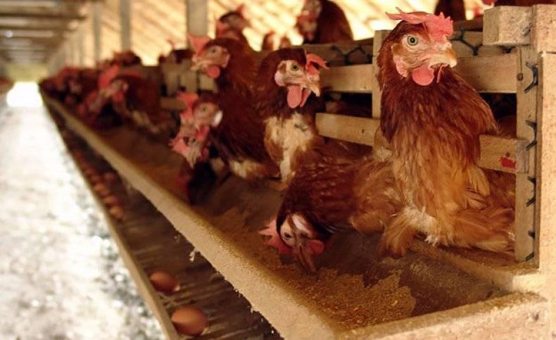 Кормление цыплят несушек в домашних условиях: их рацион, таблица нормы питания в граммах, а также потребление еды после 5 дней жизни