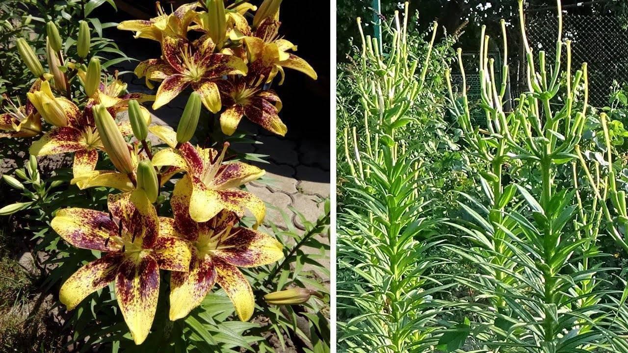 Уход за лилиями после цветения, обрезка - когда обрезать лилии, чем подкормить, пересадка