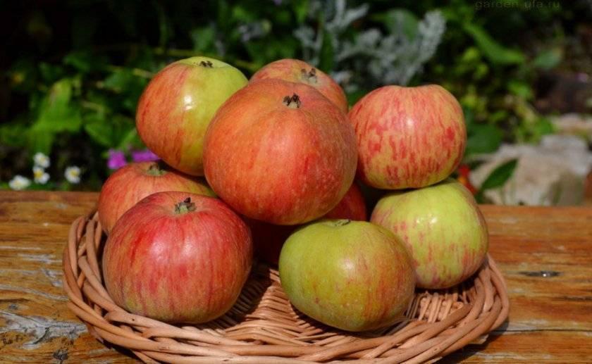 Сорт яблок недзвецкого: ботаническое описание и агротехника выращивания дерева на участке