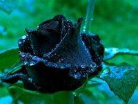 Выращиваем черные розы на своем участке. правда или миф?