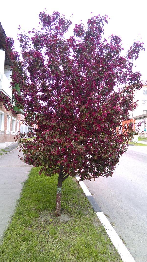 Декоративная яблоня роялти: сорта и описание