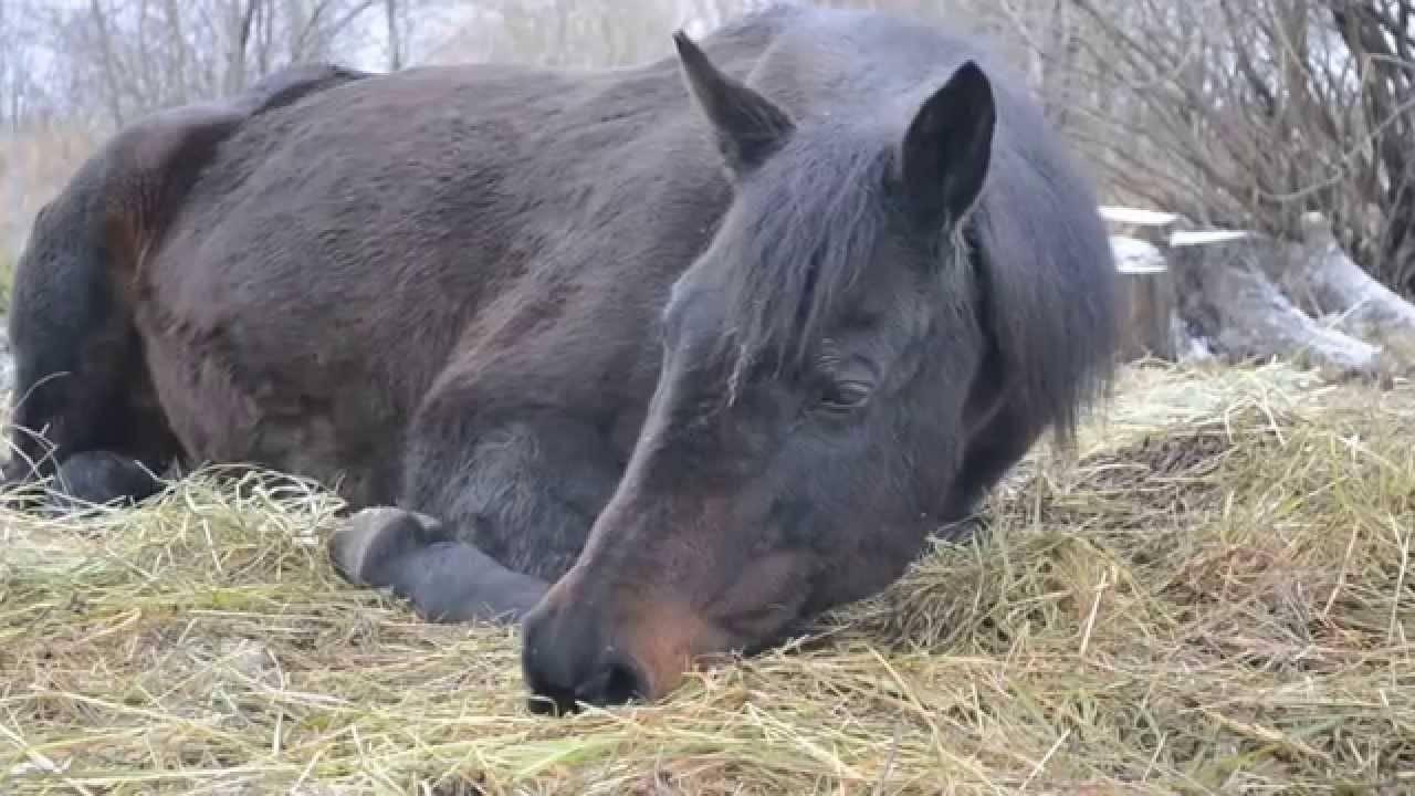 Как спят коровы и другие животные