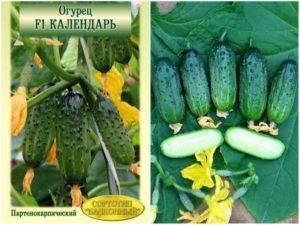 Партенокарпические огурцы: советы по выращиванию