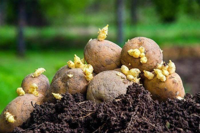 Правильная посадка картофеля в московской области