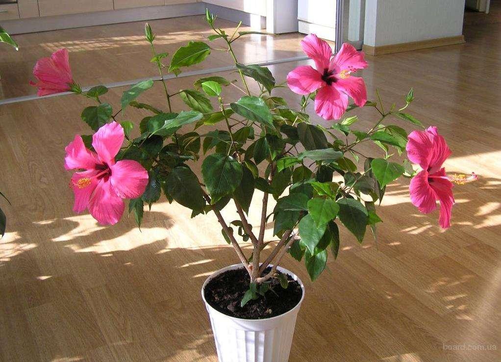 Китайская роза: размножение в домашних условиях. что делать, если растение не приживается?