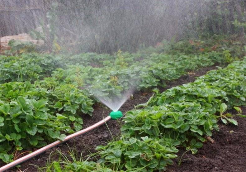 Как часто поливать клубнику во время цветения и созревания - режим полива