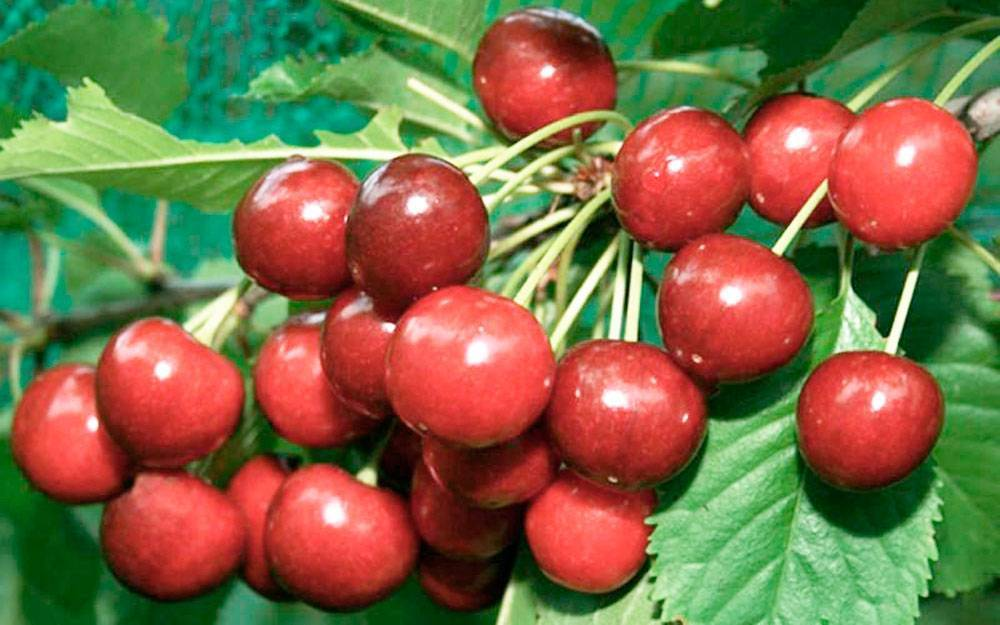Сорт с высококачественными плодами и стабильными урожаями — вишня харитоновская