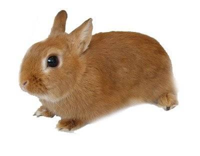 Карликовые кролики: фото, породы, уход, клетки, сколько живут карликовые кролики