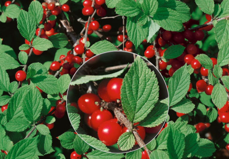 Войлочная вишня: как ухаживать за маленькой обитательницей сада