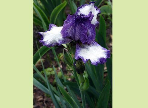 Сибирский ирис: описание сорта, 8 разновидностей и технология выращивания