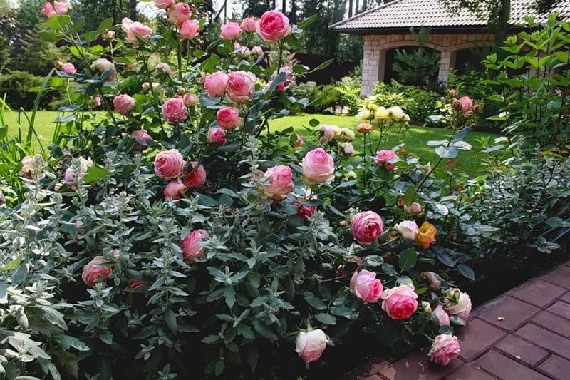 О розе хендель (handel): описание и характеристики сорта плетистой розы