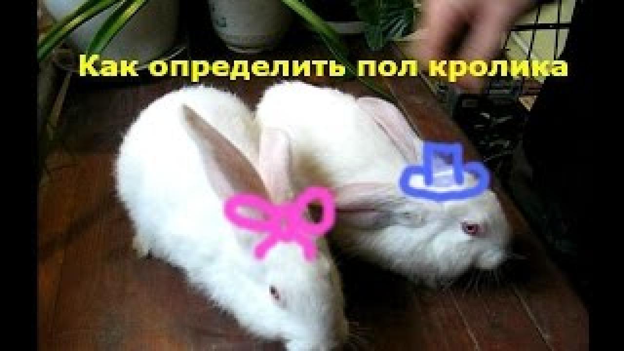 Как узнать, что крольчиха беременна признаки в. признаки беременности крольчихи