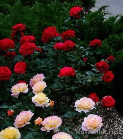 Роза бургунд 81 (burgund 81)