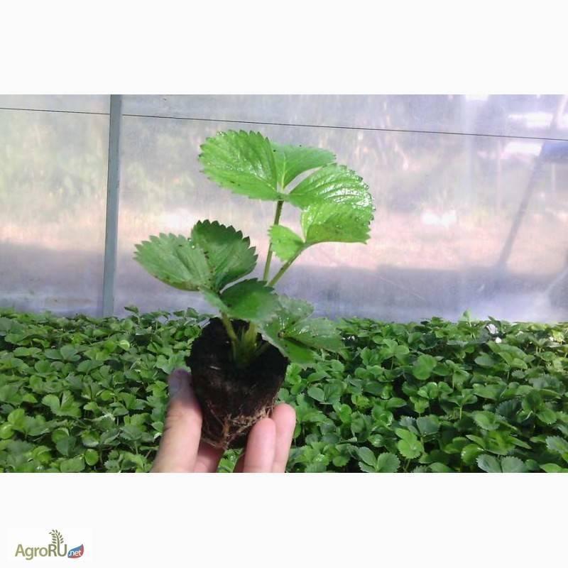 Рассада клубники: как вырастить из семян в домашних условиях