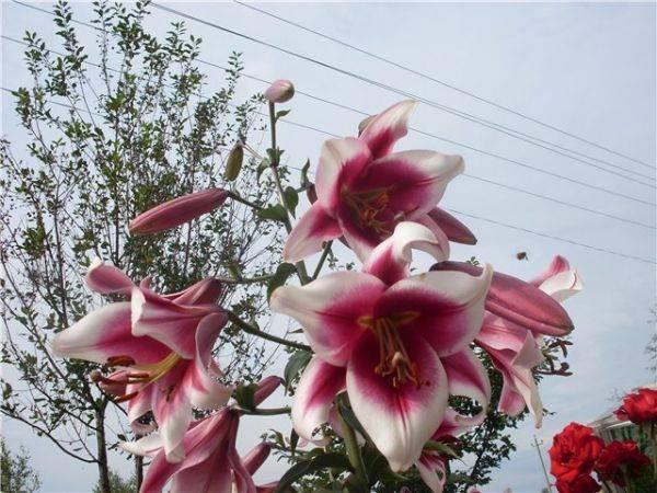 Виды и группы садовых лилий – описание и фото