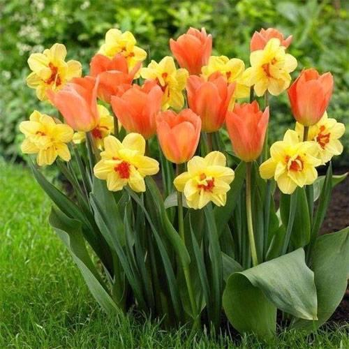 Нарциссы: посадка и уход в открытом грунте, фото, что после цветения