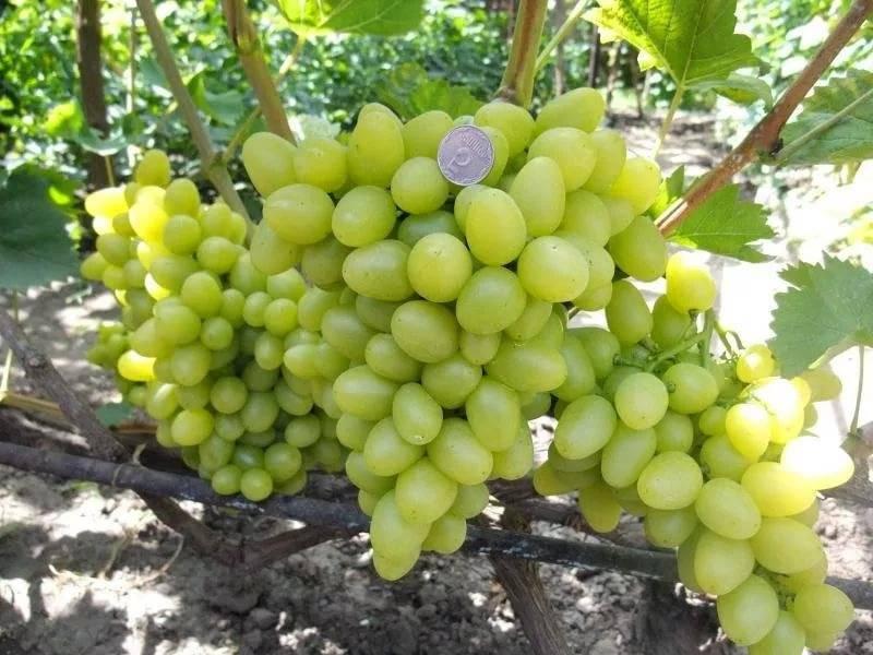Виноград аркадия: характеристика, описание сорта, уход, урожайность, фото и видео