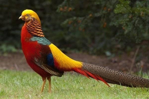 Породы фазанов с фото и описанием: лучшие птицы для домашнего разведения