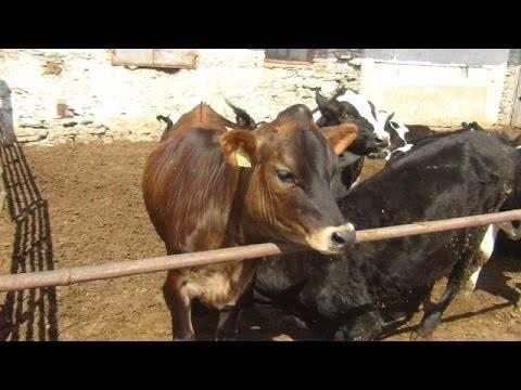 Джерсейские коровы – некрупная высокопродуктивная порода