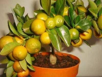 Мандариновое дерево: уход в домашних условиях
