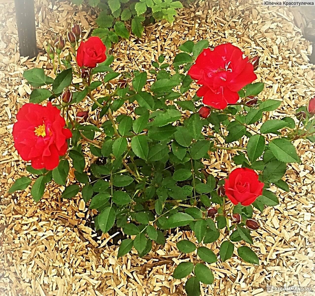 Выращиваем холодостойкие розы без укрытия