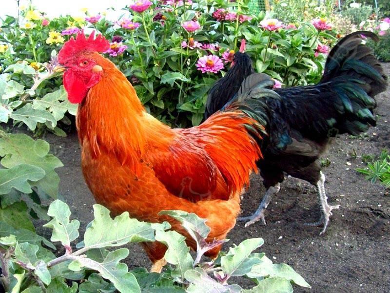Описание и продуктивность кучинской юбилейной породы кур, отзывы
