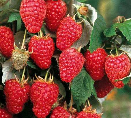 Сорт малины херитейдж: фото и описание