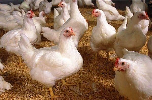 Чиктоник для цыплят: инструкция по применению