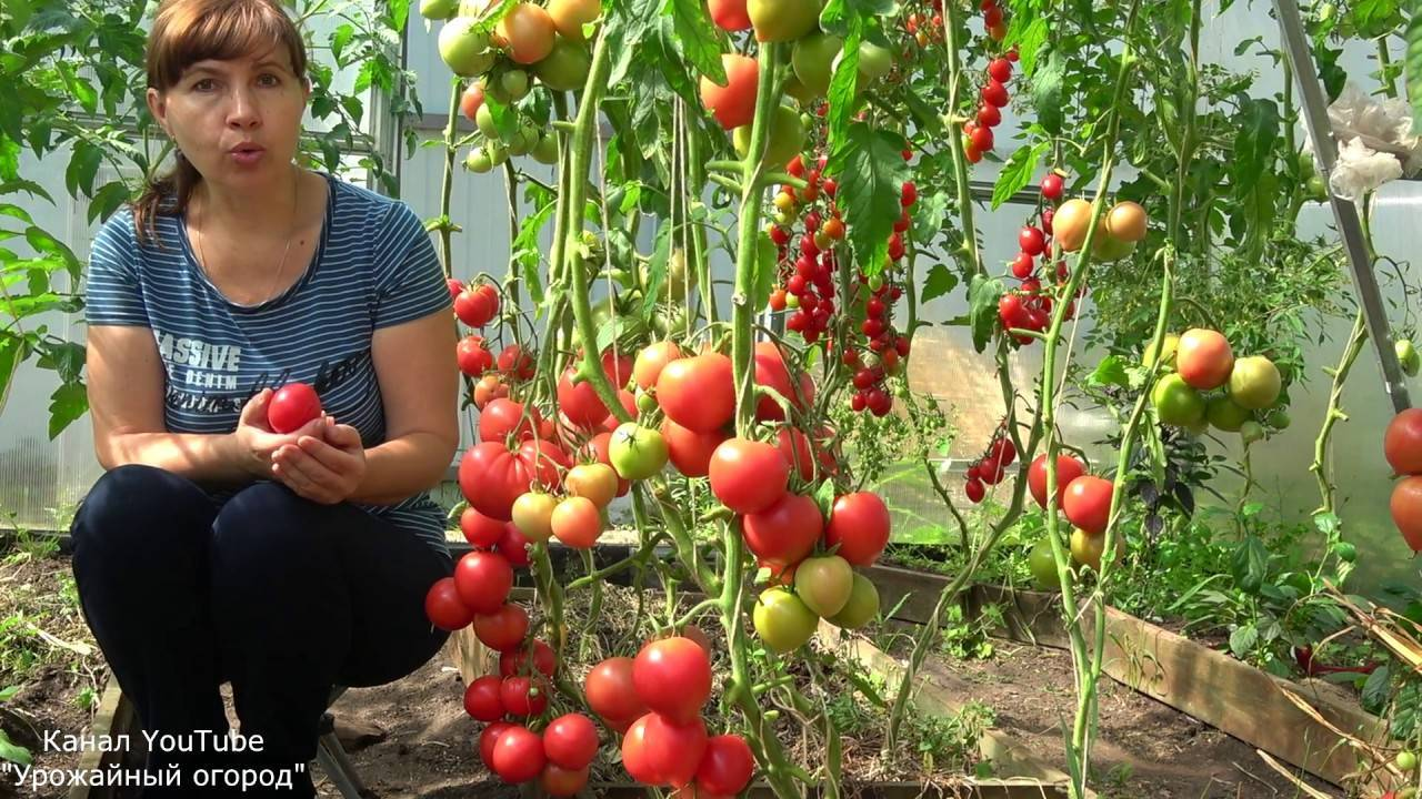 Сорта томатов для открытого грунта и теплиц: описание и характеристики раннеспелых и ранних