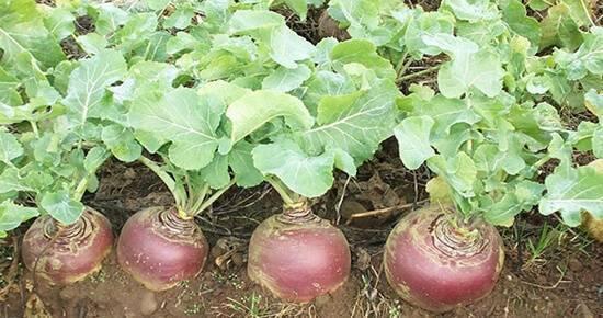 Как сажать шпинат в открытый грунт семенами и рассадой: когда правильно сеять – весной или нет, нужно ли замачивать, как выбрать лучший сорт для участка?