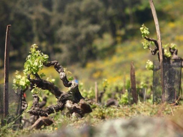 Плач виноградной лозы: что делать если в мае виноград истекает соком?
