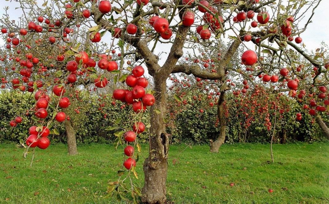 Зимние сорта яблони для средней полосы россии: лучшие виды, их описание и особенности, а также правила ухода