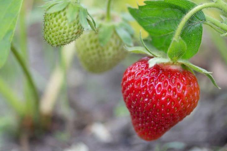 Подкормка клубники во время цветения, завязывания ягод и плодоношения