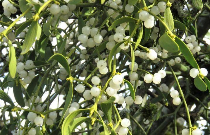 Омела белая: лечебные свойства и применение растения-паразита в народной медицине