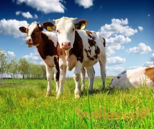 Как с помощью простых измерений узнать сколько весит корова