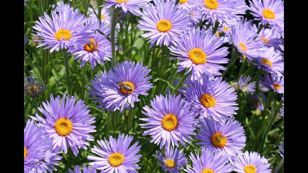 Астры многолетние: описание 13 видов, уход и посадка в домашних условиях, способы размножения и выращивания из семян (фото & видео) +отзывы