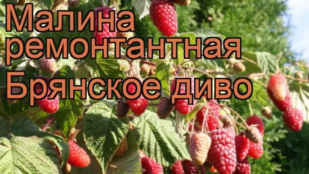 Малина сорт брянское диво