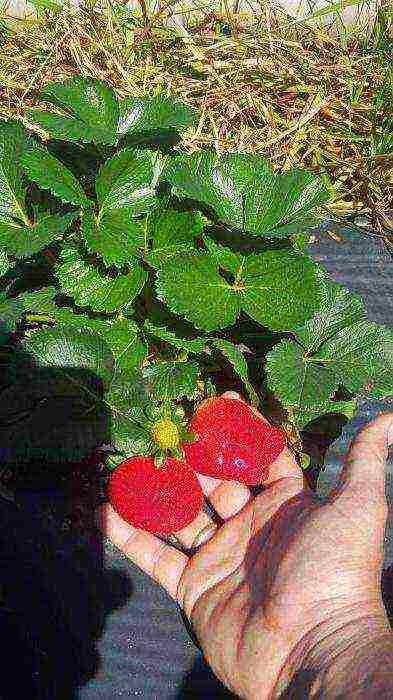 Можно ли сажать клубнику разных сортов рядом? можно ли сажать клубнику разных сортов... - ответ по животные и растения