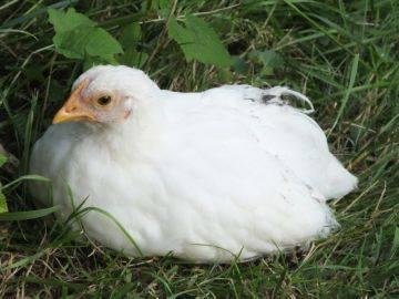 Метронидазол: инструкция по применению для птицы