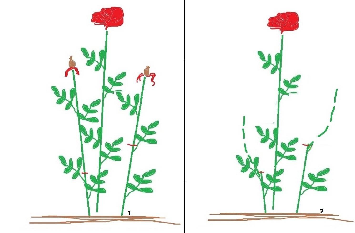 Обрезка роз после цветения летом: видео, фото, описание работ