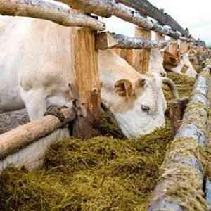 Нормы потребления сена коровой