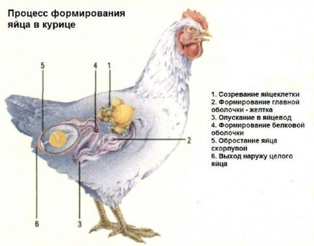 Почему куры клюют яйца и что делать?