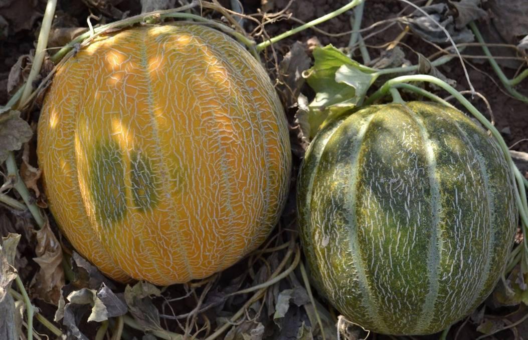 Как вырастить дыню в открытом грунте: как и когда её надо посадить, как ухаживать, когда собирать урожай